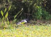 alligator-img_7416